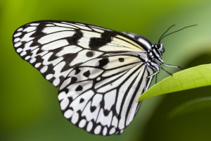 Idea leuconoe, Paper Kite Butterfly